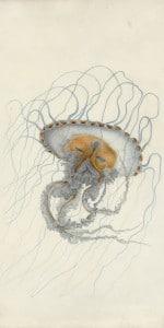 Chrysoara Lesueur, Aquarelle et crayon sur vélin, Muséum du Havre