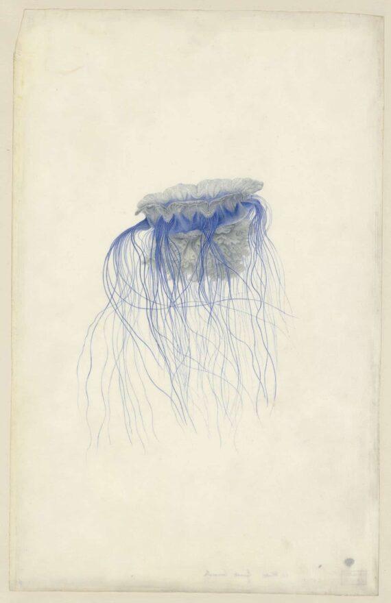Cyanea Lamarcki, Aquarelle sur vélin, Muséum du Havre