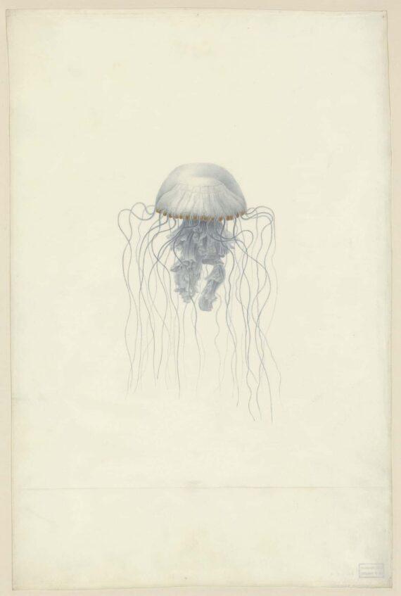 Chrysoara Pleurophora, Aquarelle sur vélin, Muséum du Havre