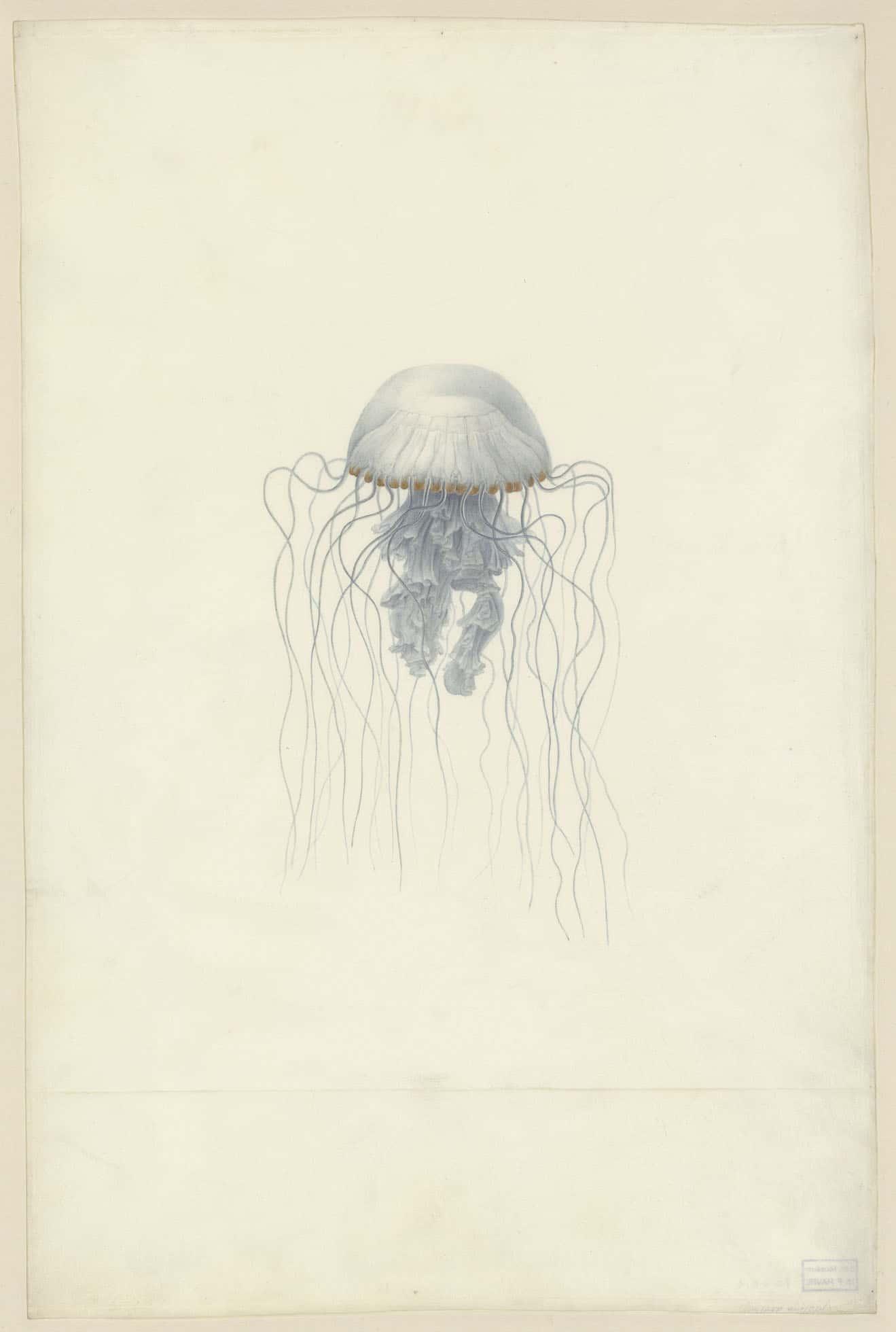 Meduses Jellyfish Editions Mkf